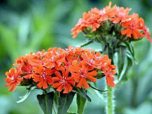 "Lychnis Calcedonia o ""Croce di Gerusalemme"""